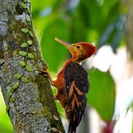 Orange-backed Woodpecker – family unit and calls
