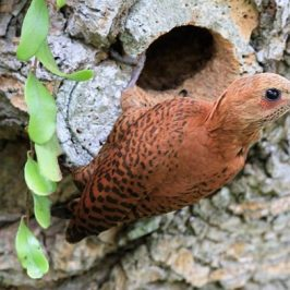 Rufous Woodpecker feeding on ants