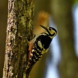 White-backed Woodpecker – Hokkaidō