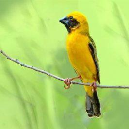 Asian Golden Weaver nesting