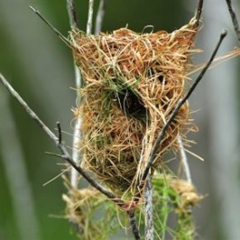 Asian Golden Weaver nesting