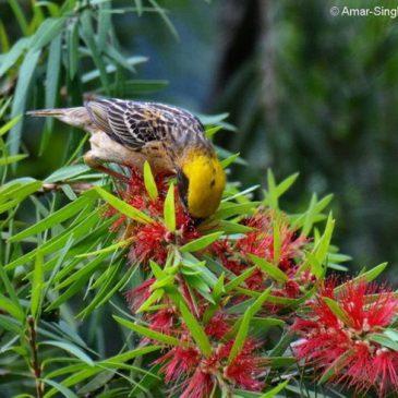 Baya Weaver – nectar feeding