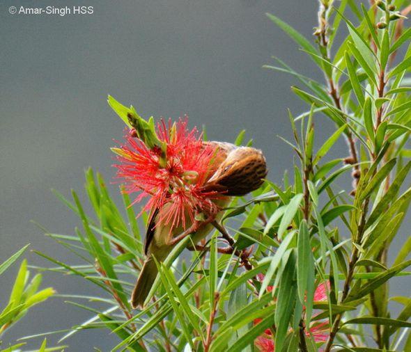 Baya Weaver feeding on flowers of Callistemon sp. (Photo credit: Dato' Dr. Amar-Singh HSS)
