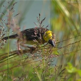 Baya Weaver feeding on <em>Chrysopogon aciculatus</em> seeds