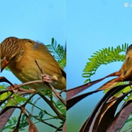 Baya Weaver's new food sources