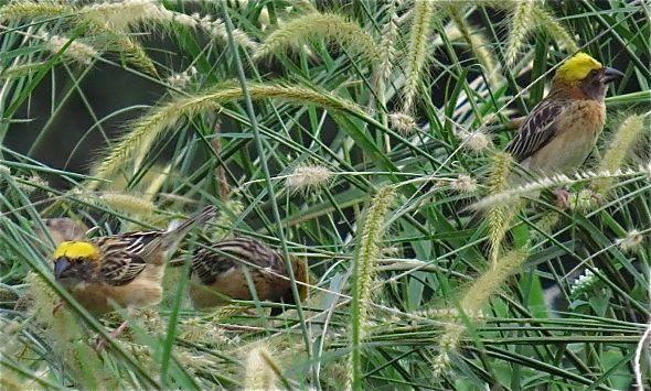 BAYA WEAVERS – FEEDING ON GRASS SEEDS