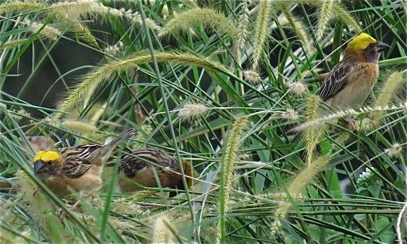 BAYA WEAVERS – FEEDING ON GRASS SEEDS