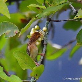 Baya Weaver – more nectar feeding