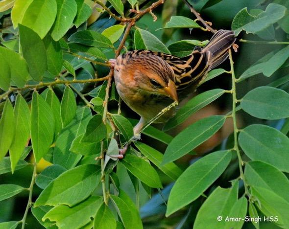 WeaverB-animal prey [AmarSingh] 3