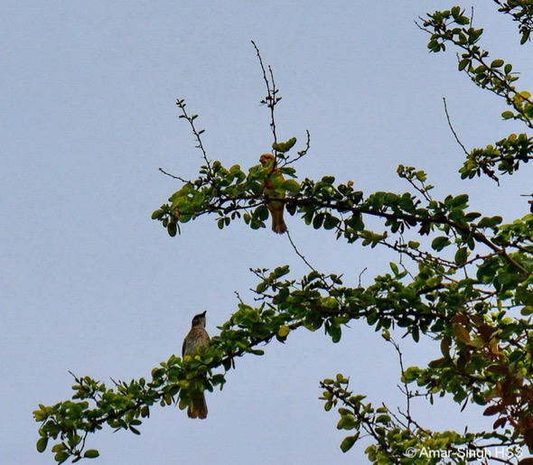 Baya Weaver and a Yellow-vented Bulbul sitting on the fringe of the Madras Thorn tree looking out for prey