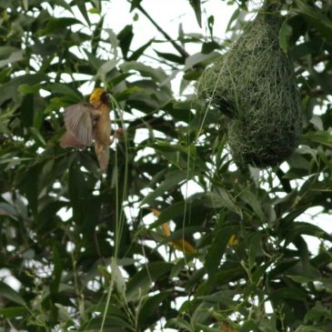 Proposal accepted and rejected within 30 mins by female Baya Weaver