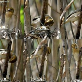 Baya Weaver's failed attempt at nest building