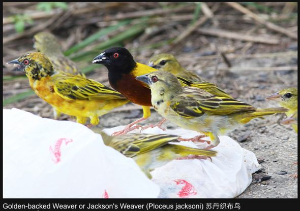 Golden-backed Weaver: Stages of moulting
