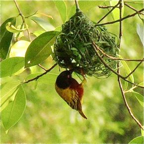 Male Golden-backed Weaver building a nest