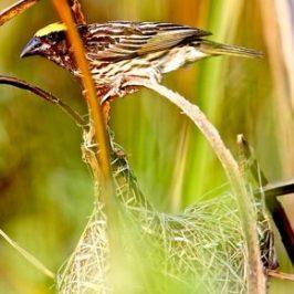 Streaked Weaver's Nesting Colony