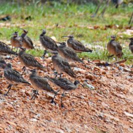 Whimbrel <em>Numenius phaeopus</em> – migratory flocks