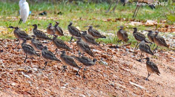 Whimbrel Numenius phaeopus – migratory flocks