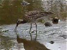 Whimbrel foraging on mudflat