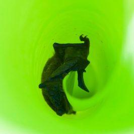 Whiskered Myotis bat roosting inside rolled up leaf of banana plant