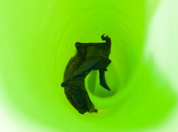Whiskered Myotis bat-banana leaf [wyc]