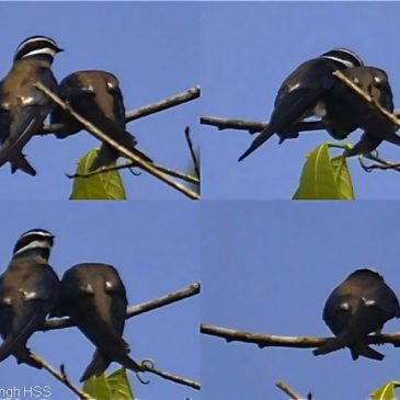 Courting behaviour of the Whiskered Treeswift