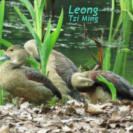 LESSER WHISTLING-DUCKS PREENING