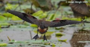 Lesser Whistling-duck foraging and flying