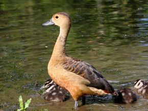 Whistling-Ducks and Hybrid Ducklings
