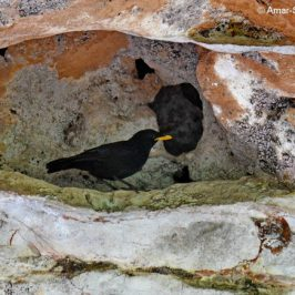 Blue Whistling-thrush – nesting site