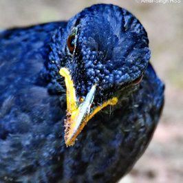 Blue Whistling-thrush's bill