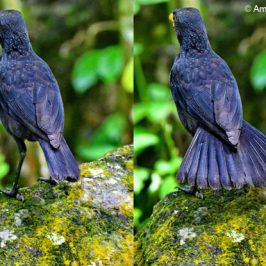 Blue Whistling-thrush – social behaviour