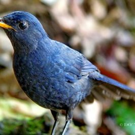 © Malayan Whistling Thrush Courts Death (Part 1)