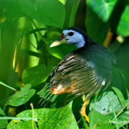 White-breasted Waterhen – adult wing moult