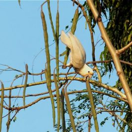 Tanimbar Corella eating fruits of <em>Moringa olifera</em>