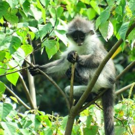 LEAF MONKEYS FEEDING ON MORNING GLORY