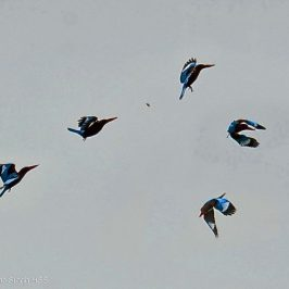 Birds feeding on alate termites