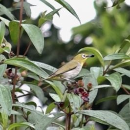 White-eye and Singapore Rhododendron fruits