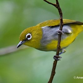 Everett's White-eye – new food item