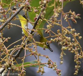 Everett's White-eye: Identification and diet