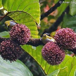 Everett&#8217;s White-eye feeding on <em>Poikilospermum</em> nectar
