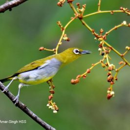 Everett's White-eye – fruit feeding