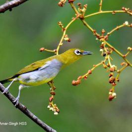 Everett's White-eye – fruit feeding