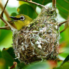 Oriental White-eye nest destroyed by sunbird