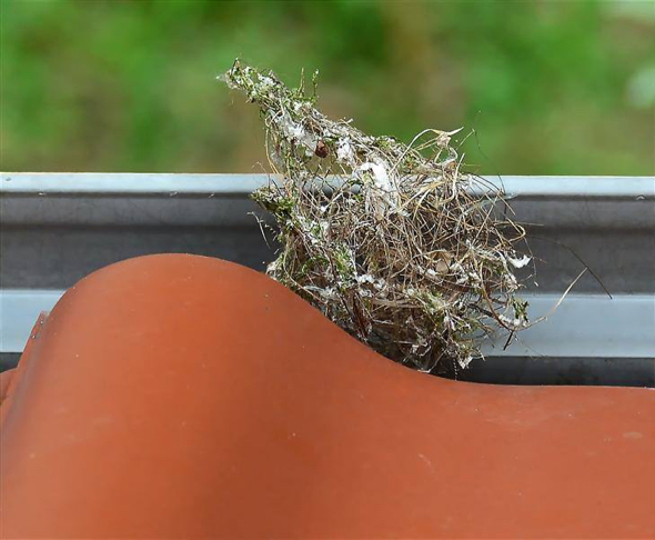 WhiteEyeO-SunbirdOB nest destroy [JWee]