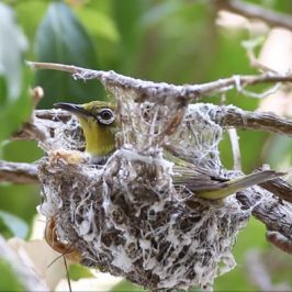 Oriental White-eye's nest