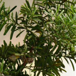Oriental White-eye nesting