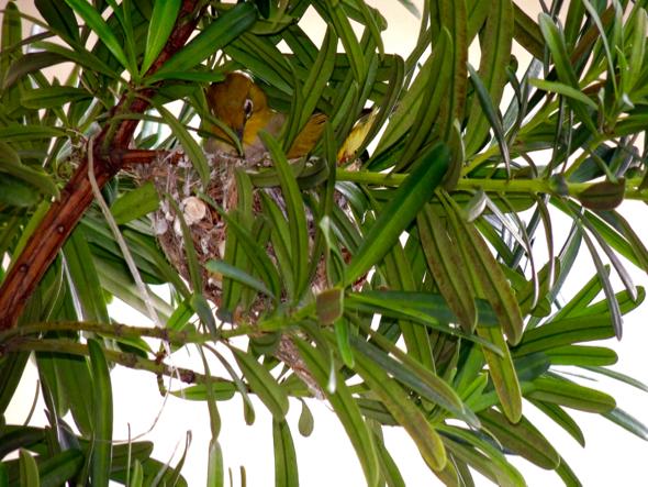 WhiteEyeO-nesting [JaniceKuek] 3