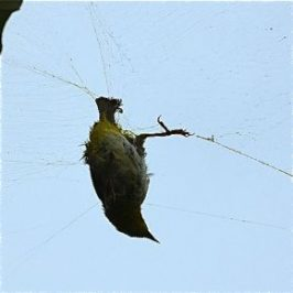 A white-eye entangled in a spider's web