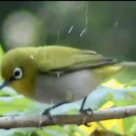 Oriental White-eye and Cinereous Tit enjoying a passive bath
