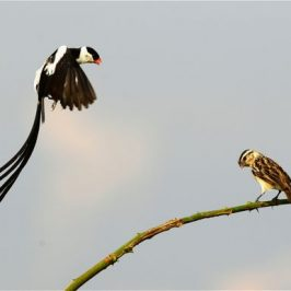 Courtship of the Pin-tailed Whydar